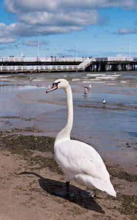 A swan on the coast of Baltic sea in Sopot