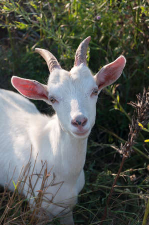 White goat in close watching