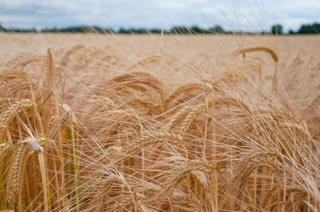 landscape wheat field day Stock Photo