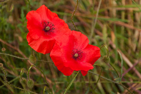 red poppies in the field Stock Photo