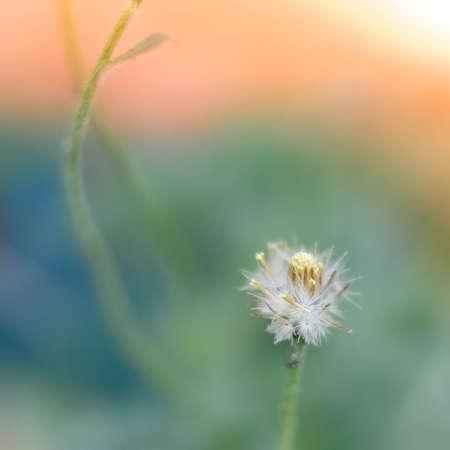 stipe: A Dandelion blowing seeds in the wind.