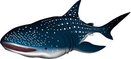 whale shark: whale shark Illustration