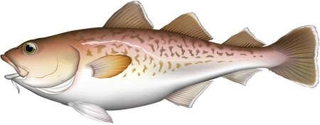 'Pacific cod' realistic illustration, vector EPS format  イラスト・ベクター素材