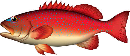 'Bluespotted grouper' illustration realistic. Vector EPS format.