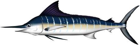 'striped marlin' real illustration vector EPS format  イラスト・ベクター素材