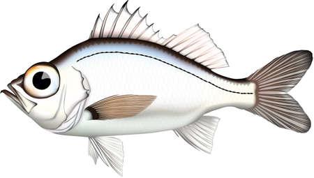 Fish Omehata Illustration Fish illustration 'Silvergray seaperch' vector EPS format.