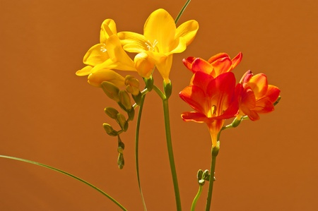 iridaceae: Freesia is a beautiful flowering plant, native to Africa.