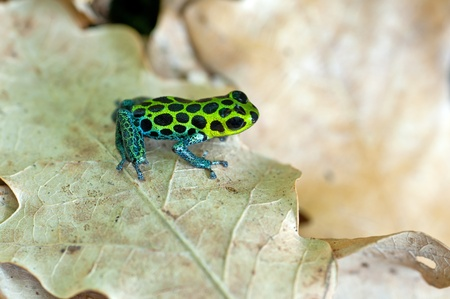 ranitomeya: Ranitomeya imitator on leaf