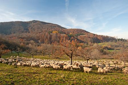 swabian: Flock of sheep in the Swabian Jura, Germany Stock Photo