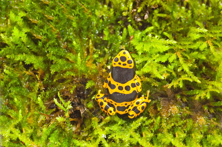 yellow and black poison dart frog: Dendrobates leucomelas, a poison dart frog native to Venezuela Stock Photo