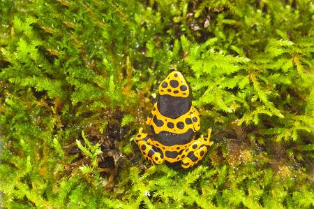 yellow and black poison dart frog: Dendrobates leucomelas, a poison dart frog native to Venezuela Stock Photo