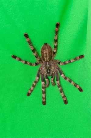 formosa: Poecilotheria formosa on green towel Stock Photo