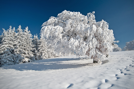 ramification: Winter in the Black Forest Stock Photo