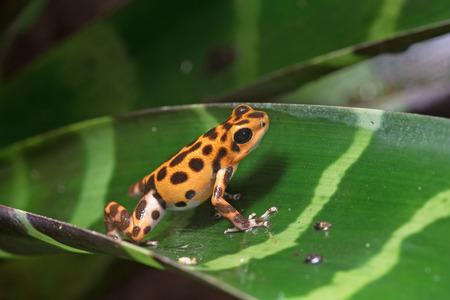 amphibia: Red poison-dart frog (Oophaga pumilio) Stock Photo
