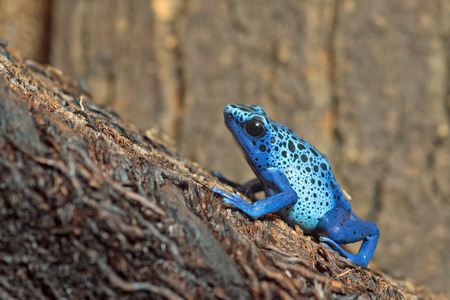 dart frog: Dendrobates tinctorius azureus