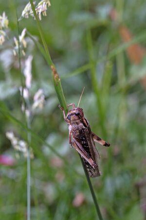 migratory: Migratory Locust Locusta migratoria