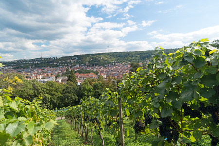 viticulture: Viticulture in Stuttgart, Germany Stock Photo