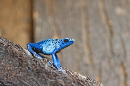 poison dart frogs: Blue poison-dart frog Dendrobates tinctorius azureus Stock Photo