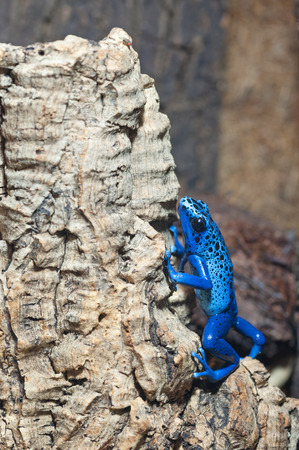 poison dart frogs: Blue poison-dart frog climbing up tree bark
