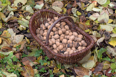 Nuts in a basket in the garden
