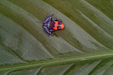 Little blessed poison-dart frog (Ranitomeya benedicta) on leaf 写真素材