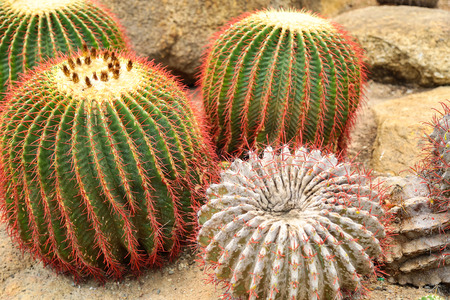 Four large round cactus on the rocks. Stock Photo