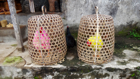 bloodsport: Colored cocks. Bred for fighting are kept in the baskets, such as they alone in the whole village. Bali, Indonesia. Stock Photo