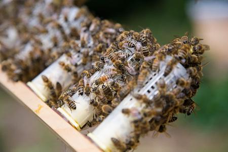 Honey bee queen breeding in a beehive.