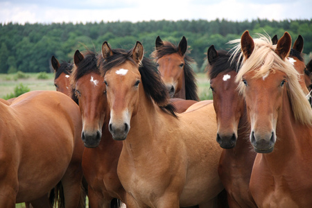 Group of wild brown horses running on a meadow. Stockfoto