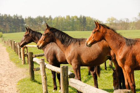 Group of brown horses on pasture, standing side by side.
