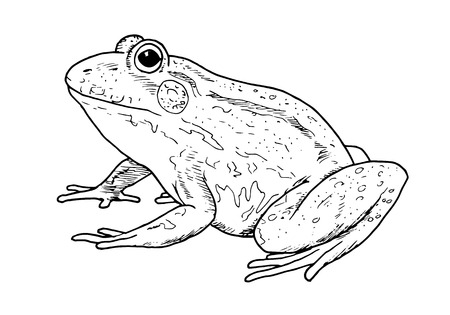 Drawing of frog - hand sketch of animal, black and white illustration Illustration