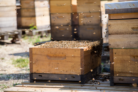 Bees swarm collected to empty bee hive among other hives in the apiary farm