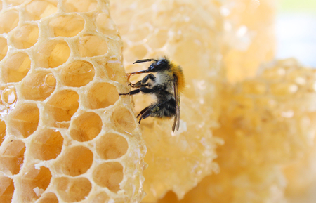 Bumblebee sitting on light wax honeycomb structure and eating honey