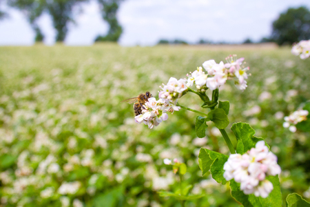 Bees working of common buckwheat. Collecting nectar for honey from the cultivated flower of fagopyrum esculentum. Stock fotó