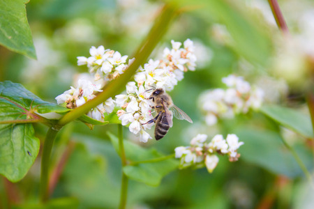 Bees working of common buckwheat. Collecting nectar for honey from the cultivated flower of fagopyrum esculentum. Фото со стока
