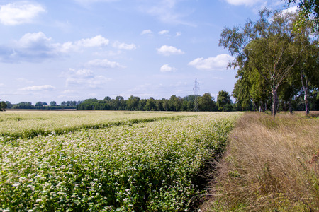 Field of common buckwheat. Landscape with cultivated crops plant, honey flower fagopyrum esculentum. Stock Photo
