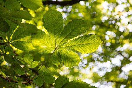 Leafs of the buckeye tree. Fresh green branch of horse chestnut with back light and some bokeh blurred background.
