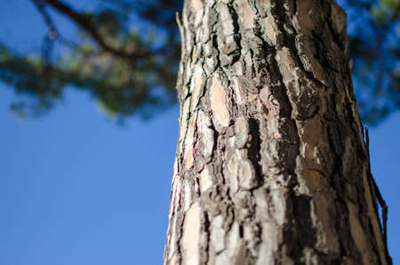 alberto Mediterranean pine