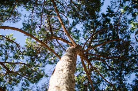 bosco: Mediterranean pine tree