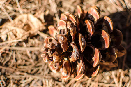 bosco: pinecone fir or pine mediterranean