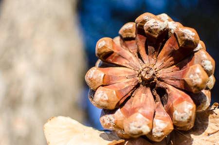 pinecone fir or pine mediterranean