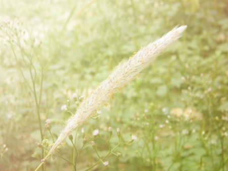style: Grass flower in soft style for backgrounds.
