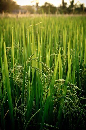 Spike in the rice fields