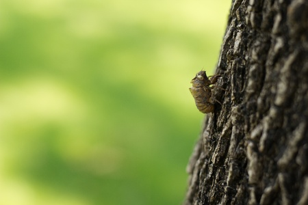 cast off: Cicada  Hemiptera  Cicadidae  moult hanging from a tree Stock Photo