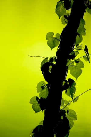 Vine Growing On A Tree photo