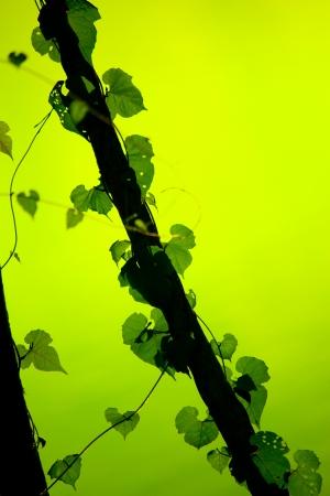 Vine Growing On A Tree photo