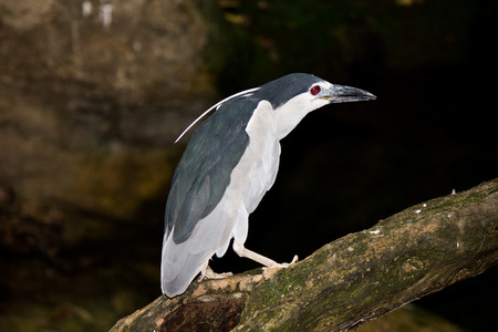 Black-crowned Night Heron  Nycticorax nycticorax  photo
