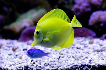 yellow tang: Yellow Tang (Zebrasoma flavescens) in aquarium