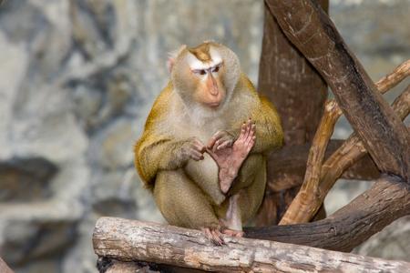 grasp: Rhesus Macaque  monkey