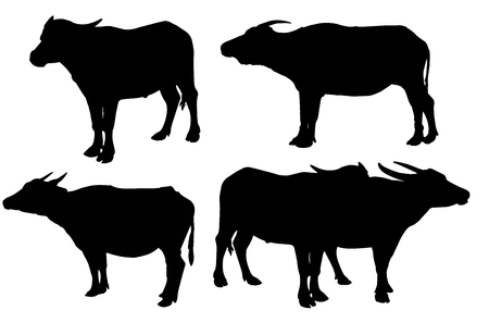 Buffalo isolated on the white background Thai Buffalo on white background Buffalo in Thailand image